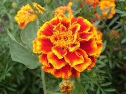 Memories of Grandpa-Planting Marigolds
