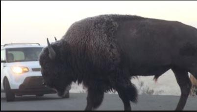 Buffalo blocking traffic